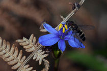 Bee on Blue von Hemantha Arunasiri