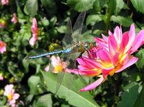 Libelle (dragonfly) auf Dahlie von Dagmar Laimgruber