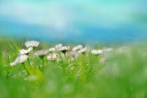 Small daisy field von Dora Bralo