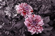 Dahlien auf Violett by lorenzo-fp