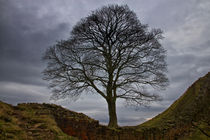 Sycamore Gap von David Pringle