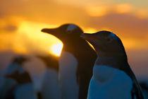 Gentoos at sunset by Matthias Zepper