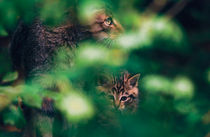 Wildcat with kitten by Intensivelight Panorama-Edition