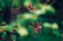 Wildkatze-mit-jungem-1