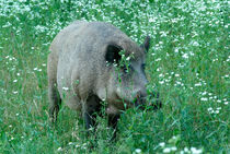 Wild hog between flowers by Intensivelight Panorama-Edition