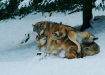 Wolf pack jostling in the snow von Intensivelight Panorama-Edition