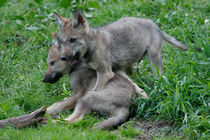 Wolf605-22