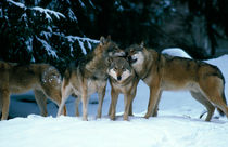 Wolves cuddling in a snowy forest by Intensivelight Panorama-Edition