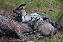 Dozing goats by Intensivelight Panorama-Edition