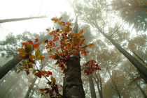 Looming beech forest in autumn von Intensivelight Panorama-Edition