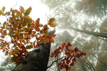 Foggy beech forest in autumn von Intensivelight Panorama-Edition