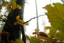 Beech forest in autumn by Intensivelight Panorama-Edition