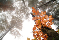 Foggy autumn beech forest by Intensivelight Panorama-Edition