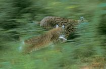 Two running lynx by Intensivelight Panorama-Edition