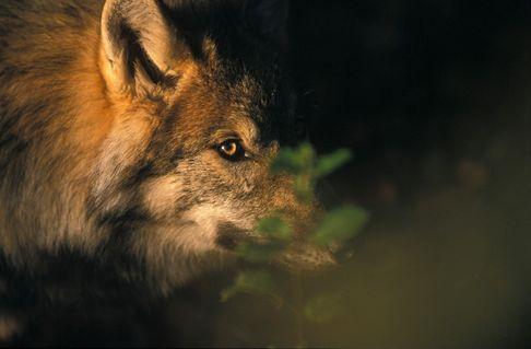 Scwolf408-2