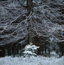 Winter forest von Intensivelight Panorama-Edition