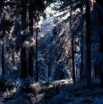 Blue winter forest by Intensivelight Panorama-Edition