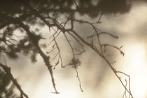 Moss growing on a pine twig by Intensivelight Panorama-Edition