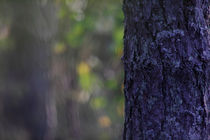 Pine tree trunk by Intensivelight Panorama-Edition