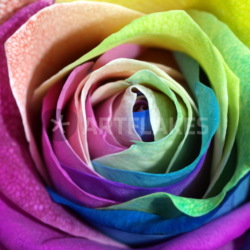 rosenbl te bunt makro rose multi colored fotografie als poster und kunstdruck von dagmar. Black Bedroom Furniture Sets. Home Design Ideas