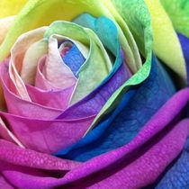 Bunte-rose304c