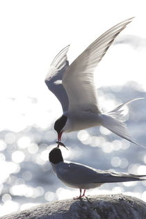 Arctic terns feeding each other by Intensivelight Panorama-Edition