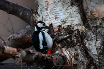 Great Spotted Woodpecker von Intensivelight Panorama-Edition