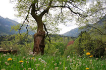 Flowering maple tree von Intensivelight Panorama-Edition