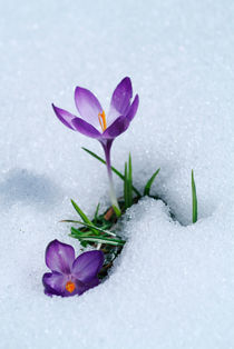 Spring Crocus flowers by Intensivelight Panorama-Edition