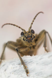 Longhorn beetle close up von Intensivelight Panorama-Edition