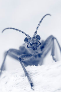 Longhorn beetle portrait von Intensivelight Panorama-Edition