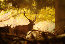 Red deer stag in fall von Intensivelight Panorama-Edition