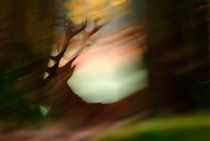Red deer stag running von Intensivelight Panorama-Edition