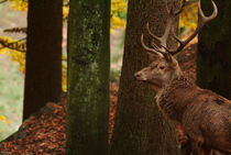 Red deer stag  von Intensivelight Panorama-Edition