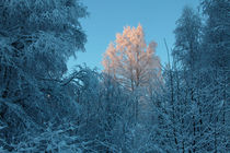 Snow-covered trees von Intensivelight Panorama-Edition