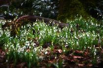 Frühlingsbote  von Barbara  Schreiber