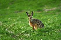 The rabbit von Freddy Olsson