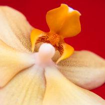 Orchid 3 von Maria Livia Chiorean