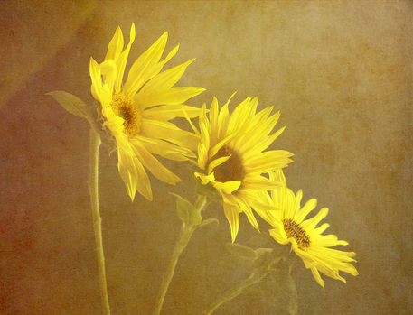 Sunflower-trio
