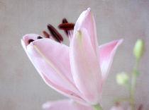 lily von Franziska Rullert