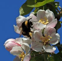 Bumble Bee on Apple Blossom
