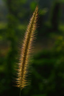 Grass Flower 2 by Hemantha Arunasiri