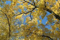 Baum_golden by taxanin