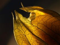 Laternenlicht (Physalis)  by Dagmar Laimgruber