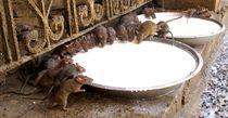 trinkende Ratten von reisemonster