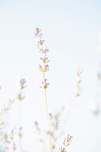 Lavender flowers in sunlight by Lars Hallstrom