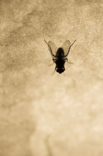 Fly on the wall by Lars Hallstrom