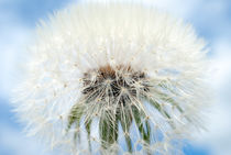 Dandelion by fraenks