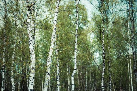 20120501-084430-dsc-7339-bearbeitet-new-birch-forest-light-2