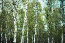birch trees by hannes cmarits